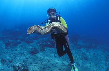 Diver with Giant sea cucumber (Thelenota anax) Sulawesi, Indonesia, Indo-pacific  -  Jurgen Freund/ npl