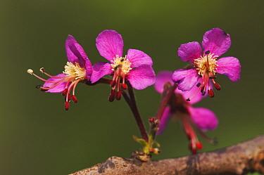 Mexican Buckeye (Ungnadia speciosa) flowers, Hill Country, Texas, USA  -  Rolf Nussbaumer/ npl