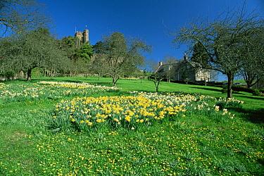 Lesser Celandine (Ranunculus ficaria) flowering in garden beside cultivated Daffodils, United Kingdom  -  Colin Varndell/ npl