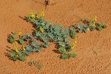 Plants with flowers growing on the sand during the rainy season, Kgalagadi Transfrontier Park, Kalahari desert, South Africa  -  Jouan & Rius/ npl