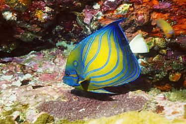 Blue-ringed Angelfish (Pomacanthus annularis), Andaman Sea, Thailand  -  Georgette Douwma/ npl