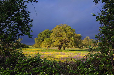 Live Oak (Quercus virginiana), Squaw Weed (Senecio ampullaceus) and Pointed Phlox (Phlox cuspidata), Stockdale, Wilson County, Texas, USA, March 2007  -  Rolf Nussbaumer/ npl