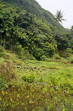 Water taro (Colocasa esculenta) paddy fields, Betel nut (Areca catechu) and Coconut (Cocos nucifera) palms on coastal fringe of Orchid Island, Taiwan  -  Nick Upton/ npl
