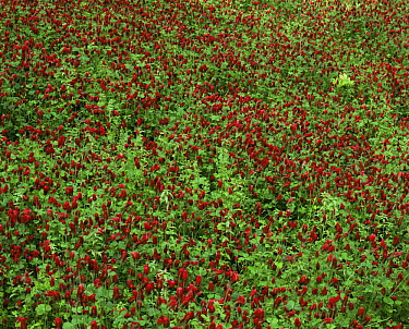 Looking down on a bed of Crimson clovers (Trifolium incarnatum) in Redwoods National Park, California  -  David Welling/ npl
