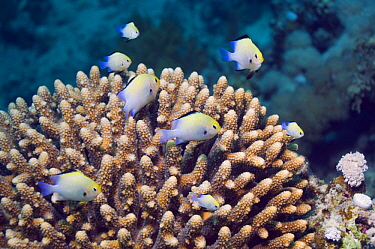 Red Sea dascyllus (Dascyllus marginatus) shoal hovering over branching coral in which they hide Red Sea, Egypt  -  Georgette Douwma/ npl