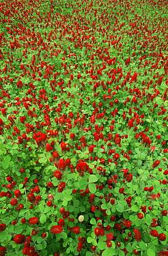 Crimson, Italian clover (Trifolium incarnatum) California, USA  -  David Welling/ npl