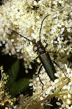 Musk Beetle (Aromia moschata) female on Meadowsweet flowers, United Kingdom  -  Premaphotos/ npl