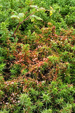 Common dodder (Cuscuta epithymum), parasitic plant growing on Europen Gorse (Ulex europaeus) Devon, UK  -  Adrian Davies/ npl