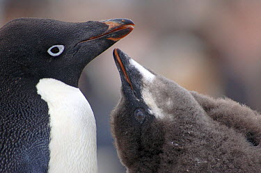 Adelie Penguin (Pygoscelis adeliae) chick begging for food, Antarctica  -  Edwin Giesbers/ npl
