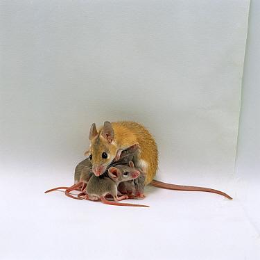 Arabian Spiny Mouse (Acomys dimidiatus) mother suckling her day old babies  -  Jane Burton/ npl