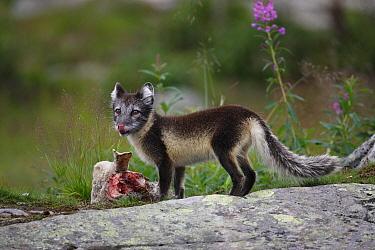 Arctic fox (Vulpes, Alopex lagopus) cub in summer coat feeding, Norway  -  Jose Luis Gomez De Francisco/ np