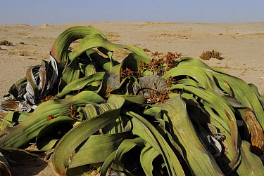 Welwitschia (Welwitschia mirabilis) male, Namib Naukluft National Park, Namib desert, Namibia  -  Jouan & Rius/ npl