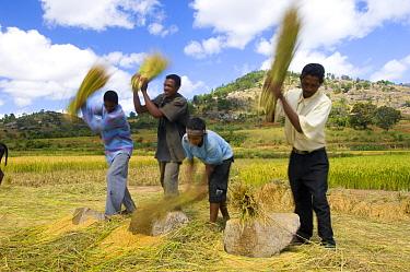 Men threshing rice by hand, the High Plateau between Antsirabe and Ambalavao, Central Madagascar  -  Inaki Relanzon/ npl