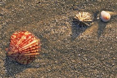 Shells on the beach, Mallaig Scotland  -  Bernard Castelein/ npl