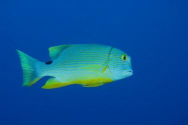 Sailfin snapper (Symphorichthys spilurus), Rowley Shoals, Western Australia  -  Jurgen Freund/ npl
