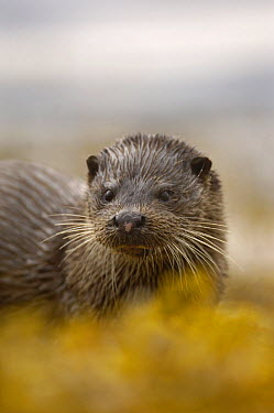 European River Otter (Lutra lutra) portrait, Isle of Mull, Scotland United Kingdom  -  Andrew Parkinson/ npl