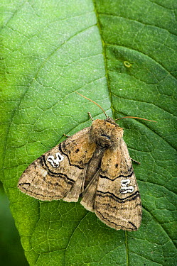 Figure of Eighty Moth (Tethea ocularis octogesimea) resting with 80 marking clearly visible UK Captive  -  Andy Sands/ npl