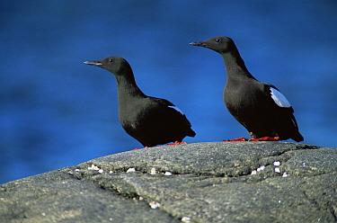 Black Guillemot (Cepphus grylle) in summer plumage, St Lawrence Gulf, Quebec, Canada  -  Jose Schell/ npl
