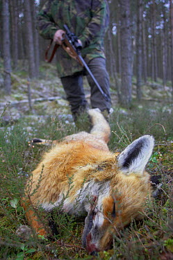 Gamekeeper with dead red fox (Vulpes vulpes) shot with rifle, Scotland, UK  -  Pete Cairns/ npl