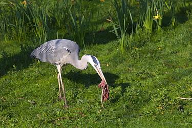 Grey Heron (Ardea cinerea) feeding on dead, disemboweled rat, Regent's Park, London, United Kingdom  -  Georgette Douwma/ npl