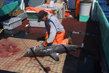 Crew member of longline vessel removes fins from Porbeagle shark (Lamna nasus) in a legal and managed fishery; fins and carcasses are landed separately, but must be equivalent in number; Nova Scotia,...  -  Doug Perrine/ npl