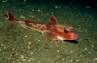 Tub Gurnard (Trigla lucerna) on sea-floor, Norway  -  Florian Graner/ npl