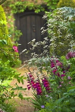 English country garden border, with roses and gladioli, leading to doorway, UK, May  -  Gary K. Smith/ npl