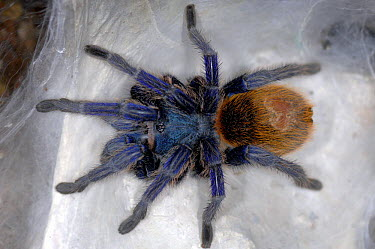 Greenbottle blue tarantula (Chromatopelma cyaneopubescens) captive, from Venezuela  -  Michael D. Kern/ npl