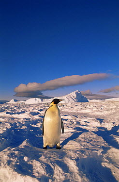 Emperor Penguin (Aptenodytes forsteri) on snow Flutter EP Rookery, Cape Darnley, Antarctica  -  Pete Oxford/ npl