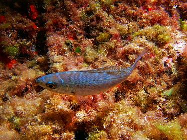 Blotched picarel (Spicara maena) Mediterranean, Spain  -  Jose B. Ruiz/ npl