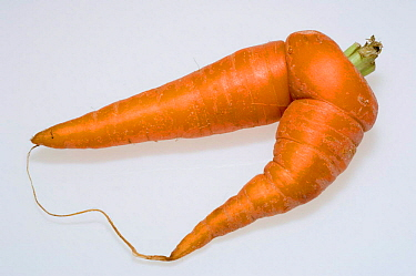 Carrot (Daucus carota) Supermarket reject Carrots have to conform to a standard size and shape  -  Georgette Douwma/ npl