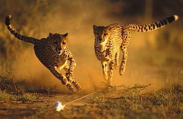 Cheetah (Acinonyx jubatus) running after rag lure to help them keep fit Namibia, East Africa  -  Andrew Harrington/ npl