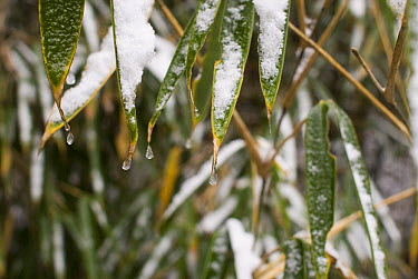 Frozen bamboo leaves (Bambusa sp) Changqing reserve, Qinling mountains, China, December 06, 'Wild China' series  -  Gavin Maxwell/ npl