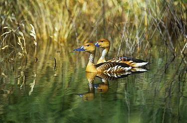 Fulvous Whistling Duck (Dendrocygna bicolor) pairChubut province, Peninsula Valdez, Argentina  -  Gabriel Rojo/ npl