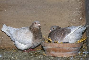 Rock Dove (Columba livia) Texan pioneer pair breeding in dovecot, Belgium  -  Philippe Clement/ npl