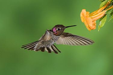 Anna's Hummingbird (Calypte anna) male in flight feeding on Yellow Trumpet Flower (Tecoma stans) Tuscon, Arizona  -  Rolf Nussbaumer/ npl
