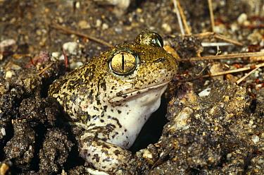 Syrian spadefoot toad (Pelobates syriacus balcanicus) in mud hole, Rupite, Bulgaria  -  Georgi Tzonev/ npl