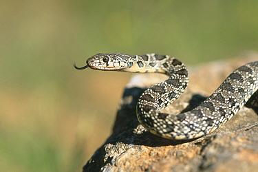 Horseshoe whip snake (Coluber hippocrepis) tongue flicking, Spain, July  -  Inaki Relanzon/ npl
