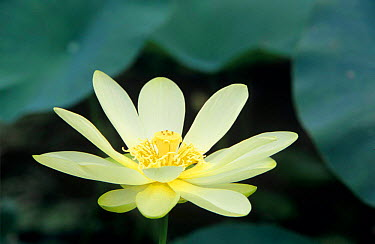 American Lotus (Nelumbo lutea) Welder Wildlife Refuge, Rockport, Texas  -  Rolf Nussbaumer/ npl