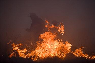 Fireman beating out a grass fire on moorland, Lancashire, UK  -  Jason Smalley/ npl