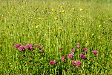 Red Clover (Trifolium pratense) flowers in meadow Bristol, United Kingdom  -  Michael Hutchinson/ npl