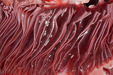 Gills of dissected Porbeagle shark (Lamna nasus)caught for research off New Brunswick, Canada  -  Doug Perrine/ npl