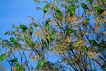 Blue-crowned Parakeet (Aratinga acuticaudata) flock feed on Chinaberry, Bolivia (Aratinga acuticaudata)  -  Luiz Claudio Marigo/ npl