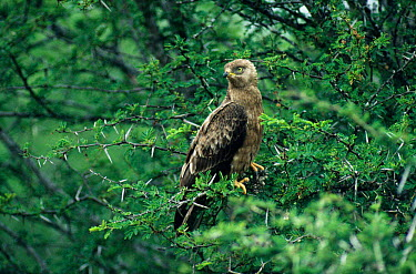 Brown snake eagle (Circaetus cinereus) perching in Acacia tree, Kruger NP, South Africa  -  Tony Heald/ npl