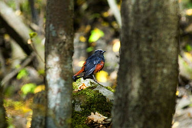 White capped redstart (Chaimarrornis leucocephalus) perching on rocks between trees, Juizhaigou national reserve, UNESCO world heritage site, Sichuan province, China, October 06, 'Wild China' series  -  Gavin Maxwell/ npl