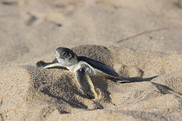 Australian flatback sea turtle hatchling (Natator depressus) from captive release programme, emerging from nest in sand, Crab Island, Torres Strait, Queensland, Australia  -  Doug Perrine/ npl
