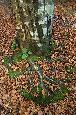 European Beech (Fagus sylvatica) Autumn leaves and roots, Bavarian Forest, Germany  -  Philippe Clement/ npl