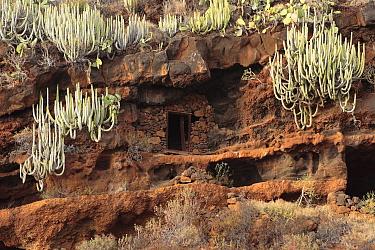 Euphorbia canariensis gorwing in the cliffs at the Coast of Hiscaguan, La Palma, Canary Islands  -  Juan Manuel Borrero/ npl