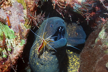 Yellow-edged Moray (Gymnothorax flavimarginatus) being cleaned by a Hump-back, Scarlet cleaner shrimp (Lysmata amboinenis) with Durban hinge-beak shrimps (Rhynchocinetes durbanensis) on coral rock in...  -  Georgette Douwma/ npl
