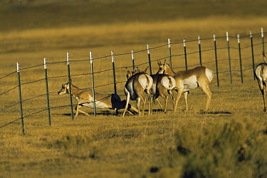 Pronghorn Antelope (Antilocapra americana) encountering fence and climbing under it, south of Pinedale, Red Desert, Wyoming  -  Shattil & Rozinski/ npl